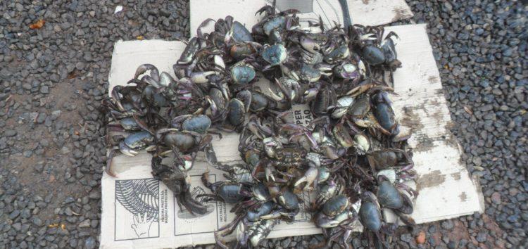 Caranguejos apreendidos em Anchieta