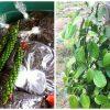 Produtores de Pimenta do Reino em Guarapari já colhem os resultados
