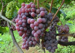 Alfredo Chaves promove a 55ª Festa da Uva e do Vinho