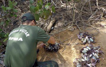 """Polícia Ambiental alerta para """"andada"""" do caranguejo-uçá"""