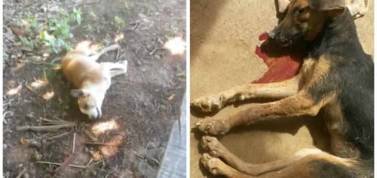 Suposto envenenamento já teria matado 30 cachorros em Samambaia