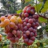 Colheita da uva começa amanhã em Alfredo Chaves