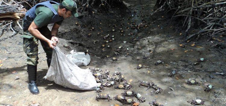 """Polícia Ambientalalertapara a """"andada"""" do Caranguejo-Uçá"""