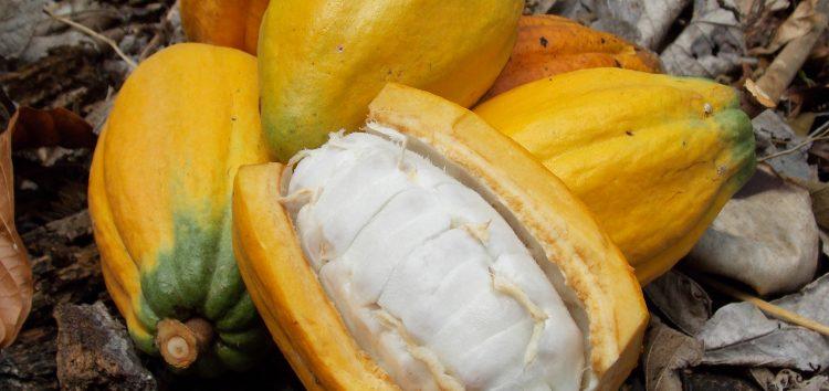 Cacau desperta interesse de produtores em Guarapari
