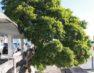 Resistindo o tempo árvore histórica do Centro corre o risco de ser cortada