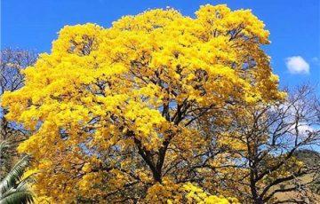 Ipês-amarelos embelezam a cidade de Alfredo Chaves