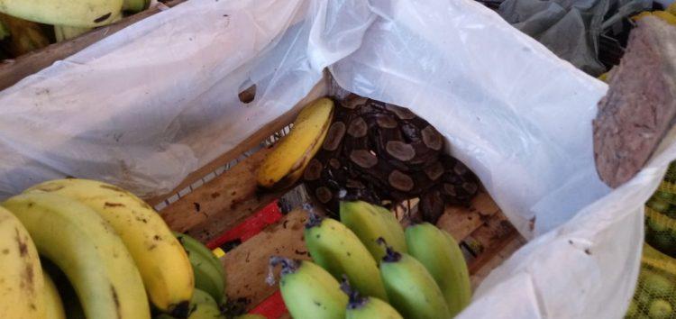 Jiboia é encontrada dentro de caixa de banana em hortifruti de Guarapari