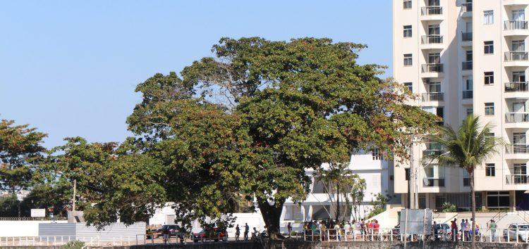 Artigo: Castanheiras em todo o Brasil, árvore típica do litoral brasileiro
