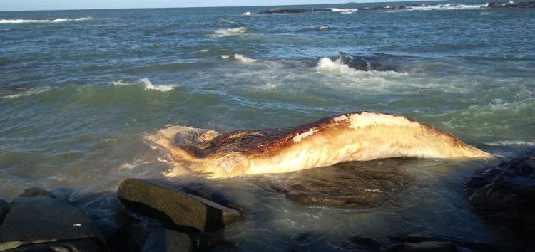 Baleia morta deverá se decompor ao ar livre em praia de Guarapari, diz biólogo