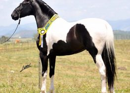 Cavalo campeão será destaque de copa de marcha em Alfredo Chaves