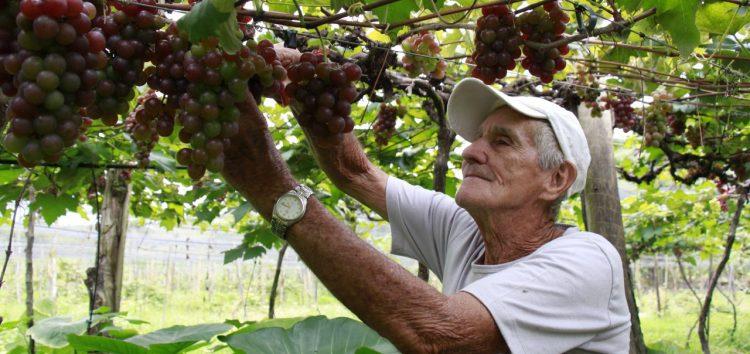 Sítio em Alfredo Chaves promove visitação de plantação de uvas