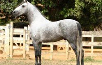 Feira do cavalo Mangalarga Marchador movimenta Guarapari