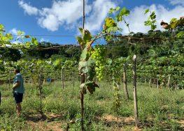 Projeto da prefeitura já está produzindo uvas em Guarapari