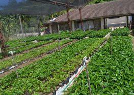 Material genético de café em Alfredo Chaves pode render até 100 mil mudas