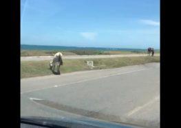 Motorista flagra cavalos soltos em pista de Guarapari