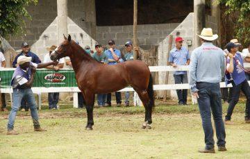 Região Serrana se prepara para maior exposição do cavalo Mangalarga do ES