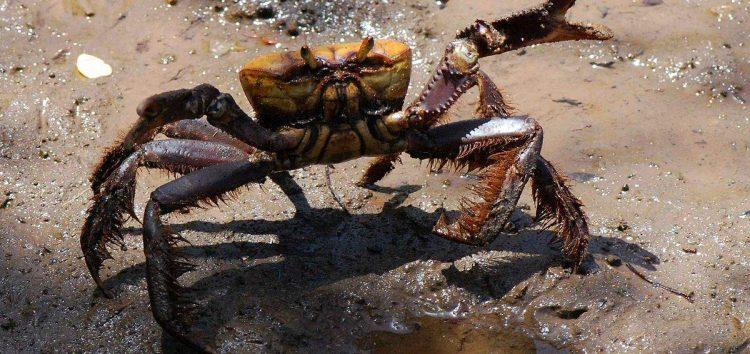 Período de defeso do caranguejo-uçá termina hoje (15) em todo o Estado