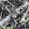 Caranguejo-uçá retorna ao manguezal de Guarapari