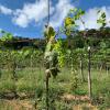 Inscrições abertas em programa para cultivo de uvas em Guarapari