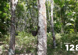 Guarapari concentra a maior área plantada de Seringueira do ES