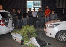 Polícia destrói plantação com mais de 300 pés de maconha em Alfredo Chaves