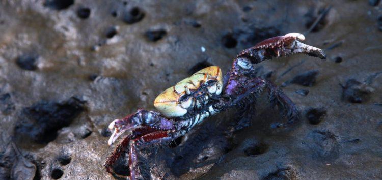 Período de defeso do caranguejo-uça começa amanhã (01) em Anchieta