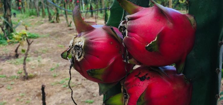 Sítio em Alfredo Chaves abre para visitação durante colheitadepitayas