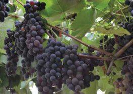 Tradicional festa da uva em Alfredo Chaves acontece no próximo final de semana