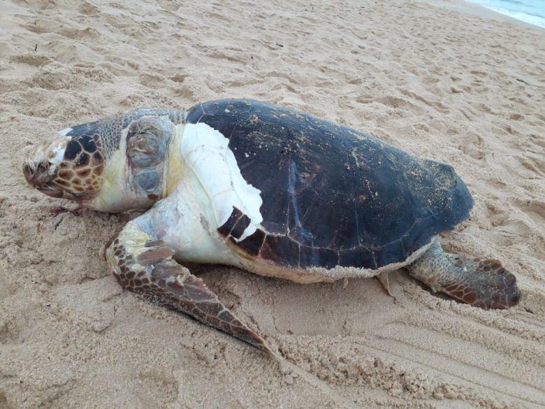 Tartaruga de aproximadamente 100kg é encontra morta na Praia de Guaibura em Guarapari