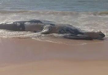 Baleia encalhada1